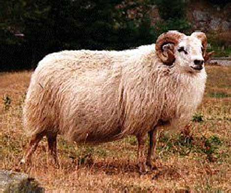 Schaf mit hörnern
